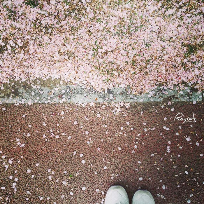 벚꽃 지던날