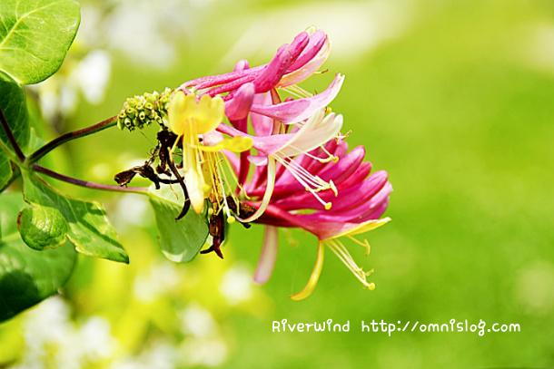 삼색 인동초 꽃