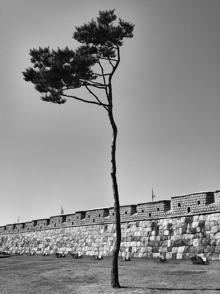 수원화성과 소나무 | 수원화성문화제