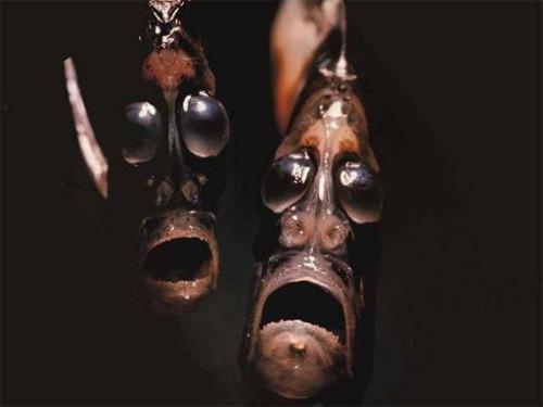 Hatchetfish Sternoptychidae