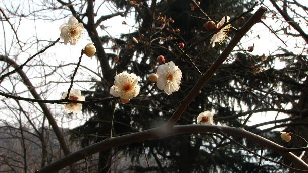 첫매화 피고 작은 봄꽃 깔린 고분길 산책
