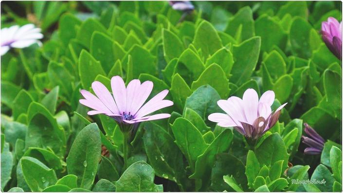 디모르포세카(Dimorphotheca)- Dimorphotheca Sinuata