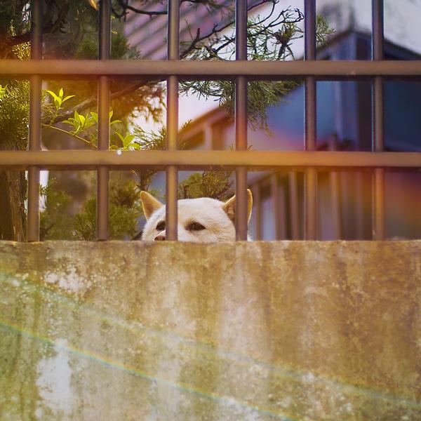 하얀 강아지가 담장너머로 눈만 빼꼼히 내밀어 촬영자를 보고있다.