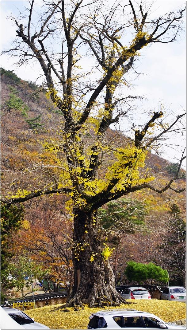 580년된 은행나무 보호수:옴니스로그