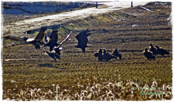 몽골에서 날아온 화포천 독수리