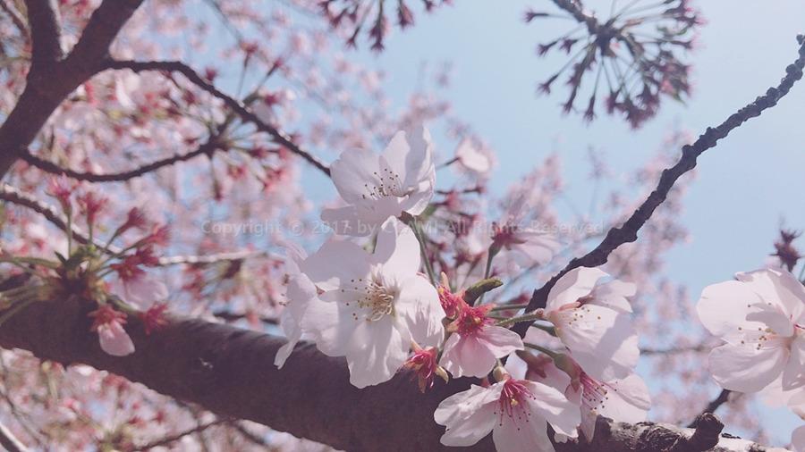 까미, 벚꽃, 진해, 벚꽃놀이, 벚꽃 놀이, 진해 벚꽃 축제, 축제, 벚꽃 축제, CCAMI, 당일치기, 여행, 당일치기 여행, 꽃놀이, 4월, 경화역, 여좌천, 로망스다리, 여좌천 로망스다리