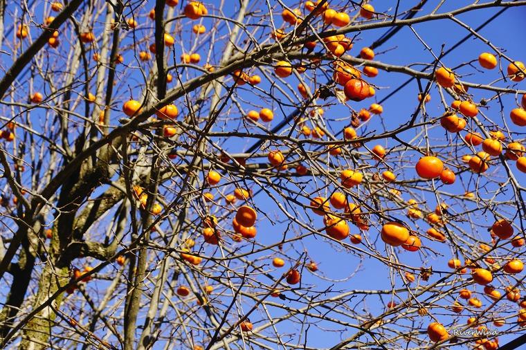 가을 하늘에 감나무