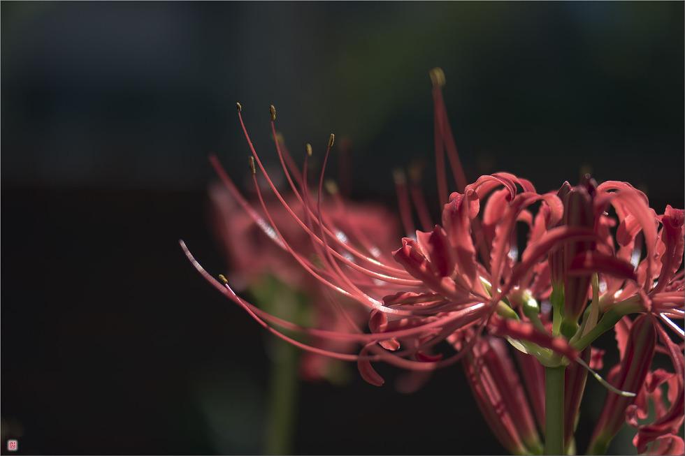[삼성NX500] 꽃무릇4