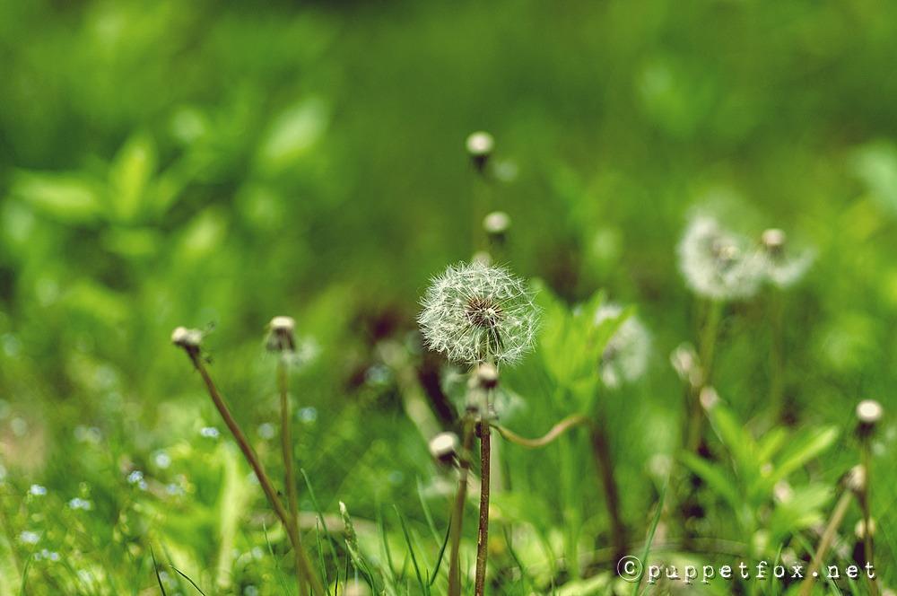 서양민들레-0511-2
