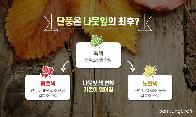 단풍 나뭇잎 색 변화 기온이 떨어짐
